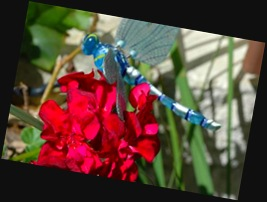 Dragonfly and Geranium