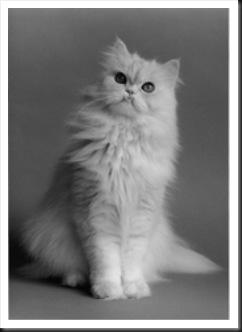 Persian Cat (Wikipedia)